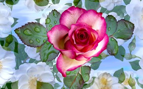 Picture Flowers, Pink, Water drops