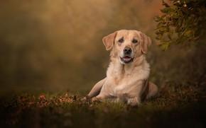 Picture look, dog, bokeh, Labrador Retriever
