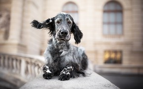 Picture each, dog, setter