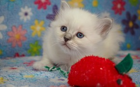 Picture white, look, pose, kitty, background, toy, baby, muzzle, fabric, lies, kitty, blue eyes, red, ragdoll