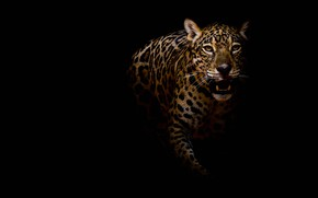 Picture look, face, pose, darkness, portrait, paws, mouth, leopard, fangs, twilight, black background, wild cat, sneaks