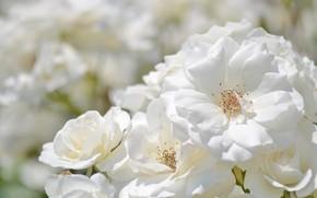 Picture white, roses, petals