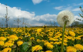 Picture field, flowers, dandelion, glade, spring, yellow, dandelions, bokeh