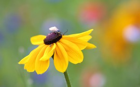 Picture flower, yellow, green, background, butterfly, insect, bokeh, blurred, rudbeckia