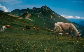 Picture field, white, the sky, grass, mountains, nature, blue, horse, horse, the slopes, horses, cows, horse, …