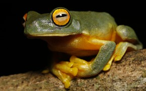 Picture look, macro, pose, frog, legs, branch, black background, treefrog, yellow-green