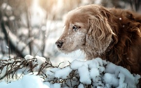 Picture winter, snow, branches, nature, animal, dog, profile, dog, Spaniel