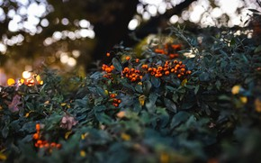 Picture autumn, light, branches, berries, the dark background, fruit, Rowan, bunches, bokeh