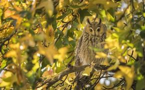 Picture autumn, owl, bird