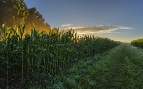 Picture summer, corn, morning