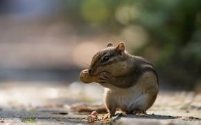 Picture walnut, Chipmunk, bokeh, rodent, peanuts