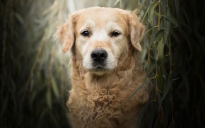 Picture look, face, leaves, branches, portrait, dog, Golden Retriever, Golden Retriever