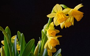 Picture black background, yellow, daffodils, closeup