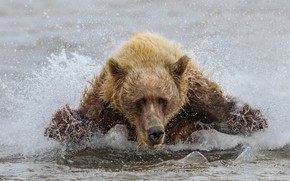 Picture water, bear, beast