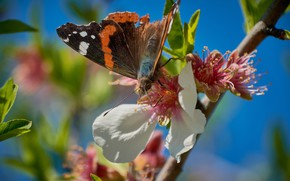 Picture the sky, macro, flowers, blue, background, butterfly, branch, spring, petals, Sakura, insect, pink, bokeh