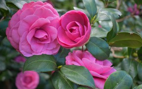Picture leaves, branches, nature, flowers, Camellia