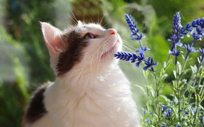 Picture cat, summer, cat, look, face, flowers, green, background, portrait, white, the smell, lavender, with spots
