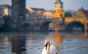 Picture birds, bridge, the city, river, building, Prague, Czech Republic, Swan, chick