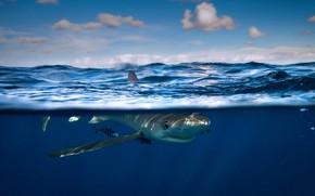 Picture sea, fish, mokou, blue shark