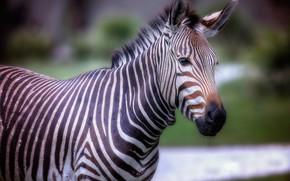 Picture look, face, background, portrait, treatment, Zebra