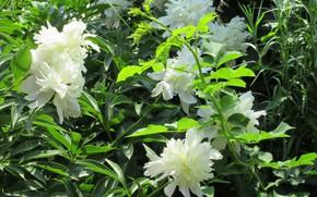 Picture peonies, spring 2018, Meduzanol ©, white peonies
