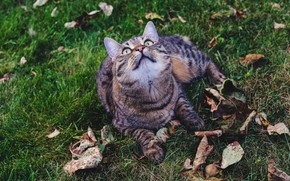 Picture autumn, cat, grass, cat, look, face, leaves, grey, glade, lies, falling leaves, striped, looking up
