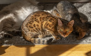 Picture cat, cat, look, light, cats, Bengal