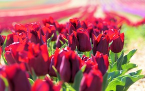 Picture field, leaves, light, flowers, bright, spring, tulips, red, buds, a lot, plantation