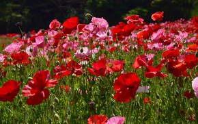 Picture summer, flowers, glade, bright, Mac, Maki, red, pink, a lot, poppy field