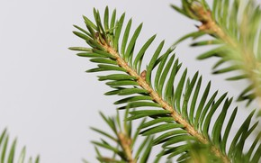 Picture macro, needles, branches, background, spruce