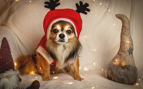 Picture eyes, costume, New year, garland, Chihuahua, New Year