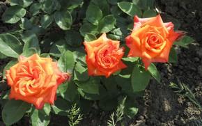Picture background, roses, trio, orange roses, Meduzanol ©, summer 2018