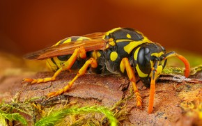 Picture macro, background, OSA, insect, hornet, bark, brown, spotted