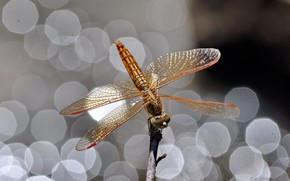 Picture Shine, dragonfly, bokeh