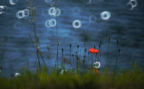 Picture grass, water, light, flowers, Mac, Maki, blur, red, blue background, bokeh, Berezhok, pond. shore