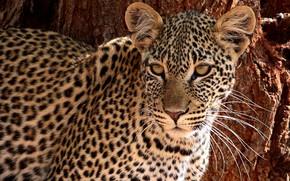 Picture look, face, leopard, wild cat