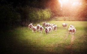 Picture summer, light, trees, nature, glade, sheep, running, sheep, the herd, lambs, flock