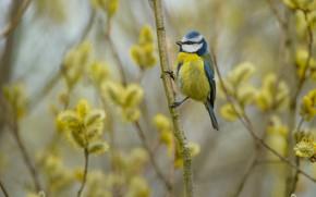 Picture branches, bird, spring, bird, Verba, tit