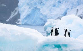 Picture winter, snow, birds, nature, ice, penguins, glacier, iceberg, ice, penguin, ice, pond, Quartet, four, Antarctica, …