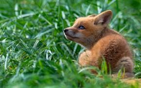 Picture greens, grass, look, pose, baby, Fox, sitting, Fox, Fox