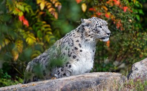Picture autumn, look, leaves, cats, paint, stone, portrait, snow leopard, bright, bars, wild cats, sitting, zoo, …