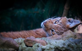 Picture look, face, branches, nature, pose, the dark background, stones, stay, portrait, lies, lynx, needles, wild …