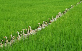 Picture birds, duck, Bali, Indonesia, rice field