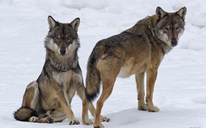 Picture winter, snow, nature, wolves, DUELL ©