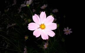 Picture Flower, Pink Flower, A Flower