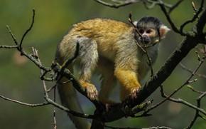 Picture look, branches, pose, tree, monkey, monkey, wildlife, primates, squirrel monkeys
