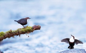 Picture bird, pair, the Eurasian dipper