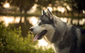 Picture language, look, face, nature, shore, dog, profile, pond, husky, bokeh, Siberian husky