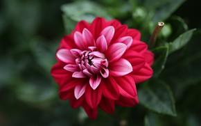 Picture close-up, petals, Dahlia