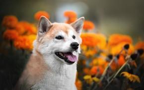 Picture face, flowers, portrait, dog, bokeh, Shiba inu
